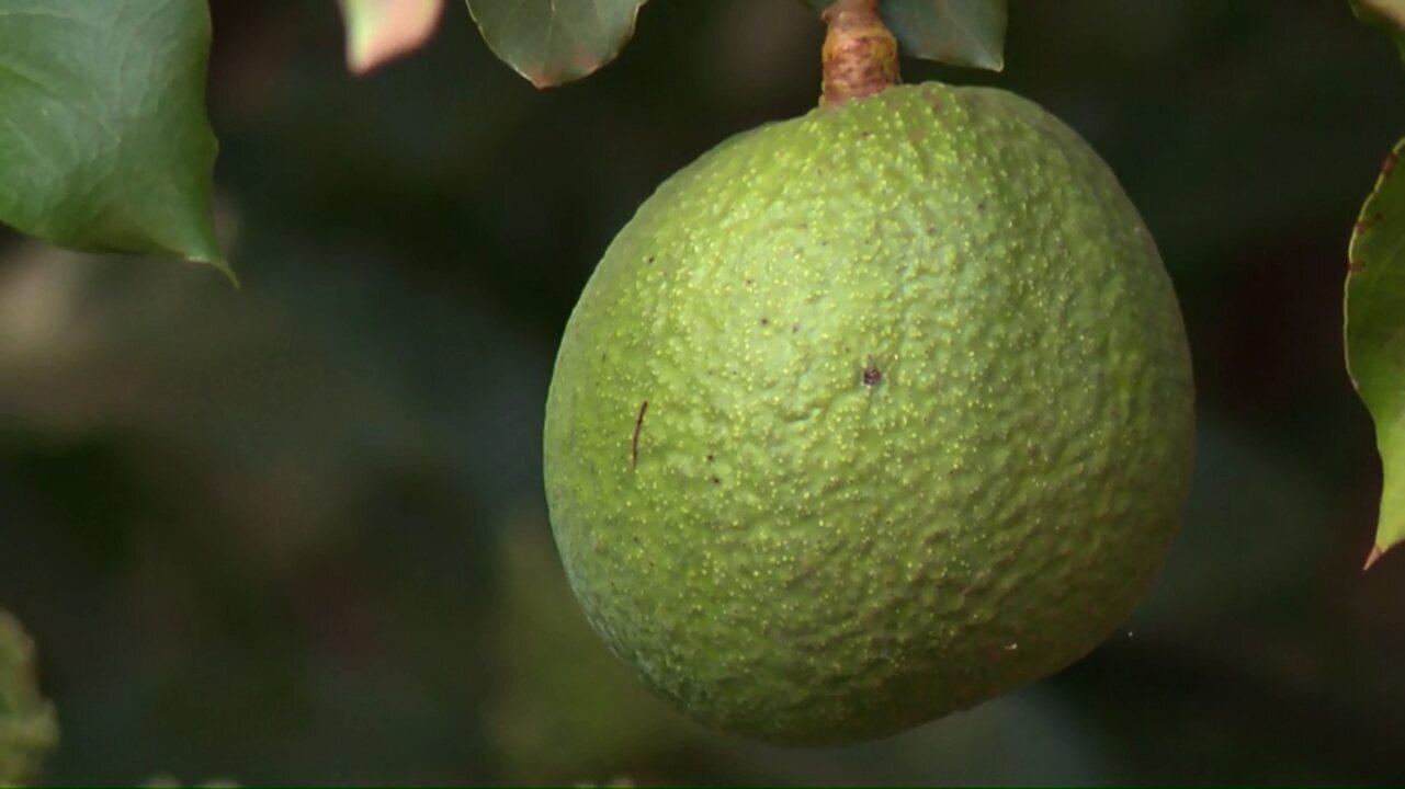 Conheça o produtor que descobriu uma variedade de abacate cultivada no país inteiro