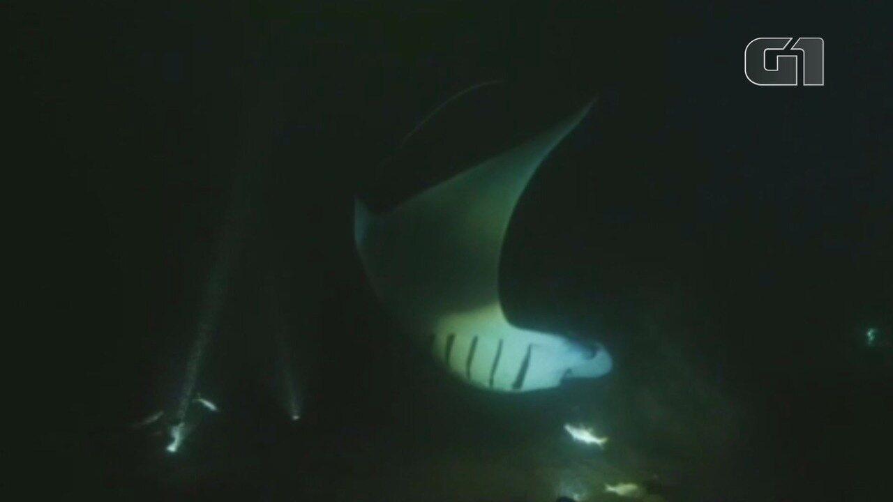 Raias mantas fazem surgem em Fernando de Noronha atraídas por luz no mar