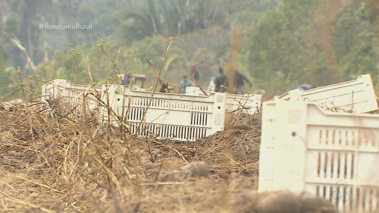 Parte 2: Produtores rurais de Porto Velho têm investido no inhame São Tomé