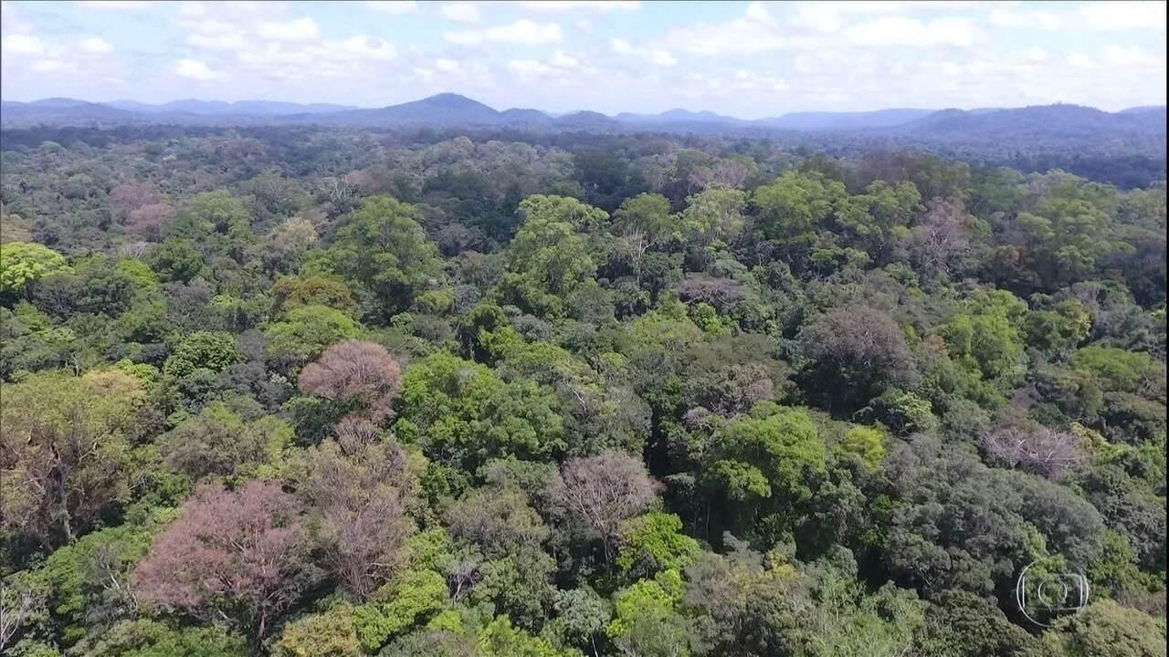 Pesquisadores encontram árvore mais alta da amazônia, pode ter mais de 400 anos