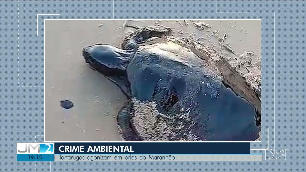 Tartaruga é encontrada coberta por óleo em praia de Alcântara
