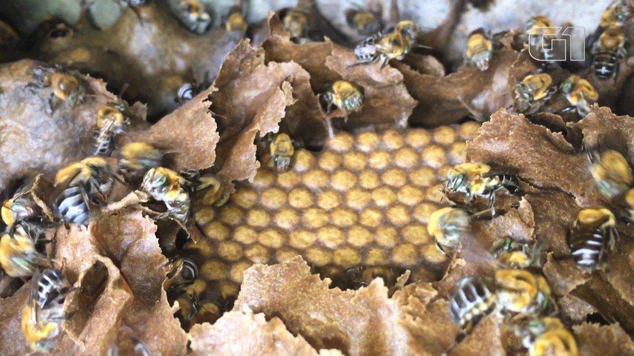Criação de abelhas sem ferrão ganha espaço na Bahia; litro do mel chega a R$ 300