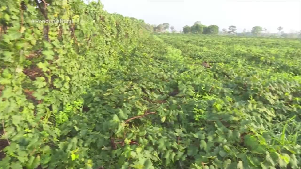 Mutirão ajuda reerguer parreiral de uva derrubado por chuva em RO