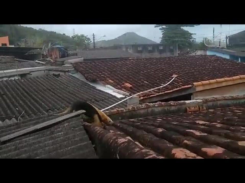Polícia Ambiental resgata Tamanduá-mirim em Caraguatatuba