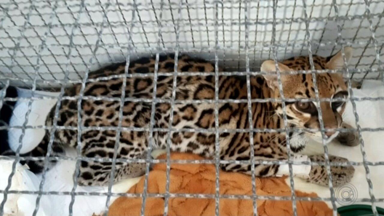 Jaguatirica é encontrada bastante debilitada em quintal de casa em Júlio Mesquita
