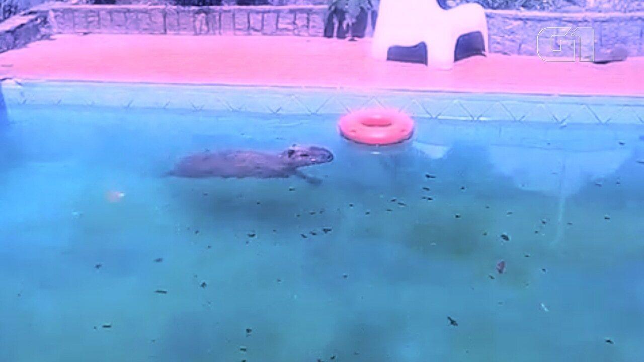 Capivara invade piscina de clínica para se refrescar, em Campo Grande (MS).
