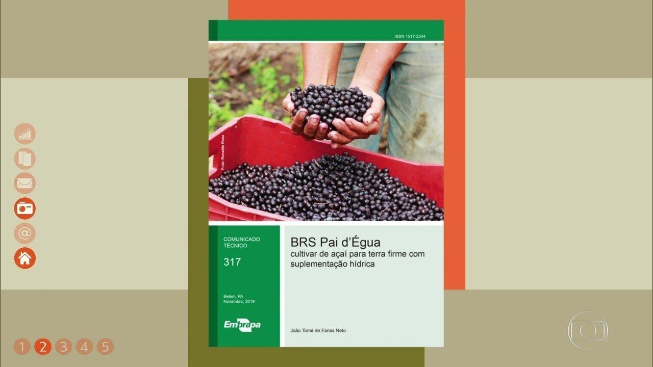 Embrapa lança nova variedade de açaí; veja como cultivar