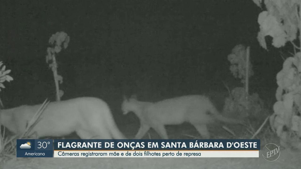 Imagens mostram onças pardas em mata ciliar de represa de Santa Bárbara d'Oeste