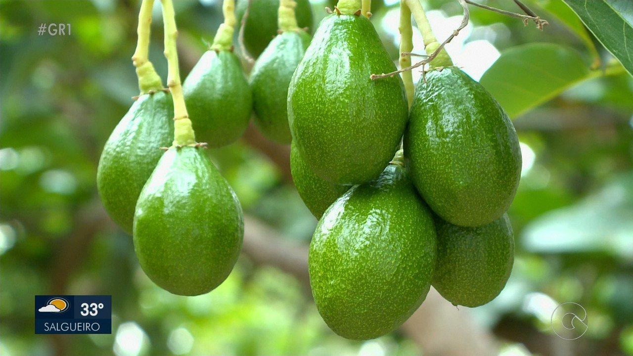 Produtores de Petrolina apostam no abacate para diversificar culturas da região