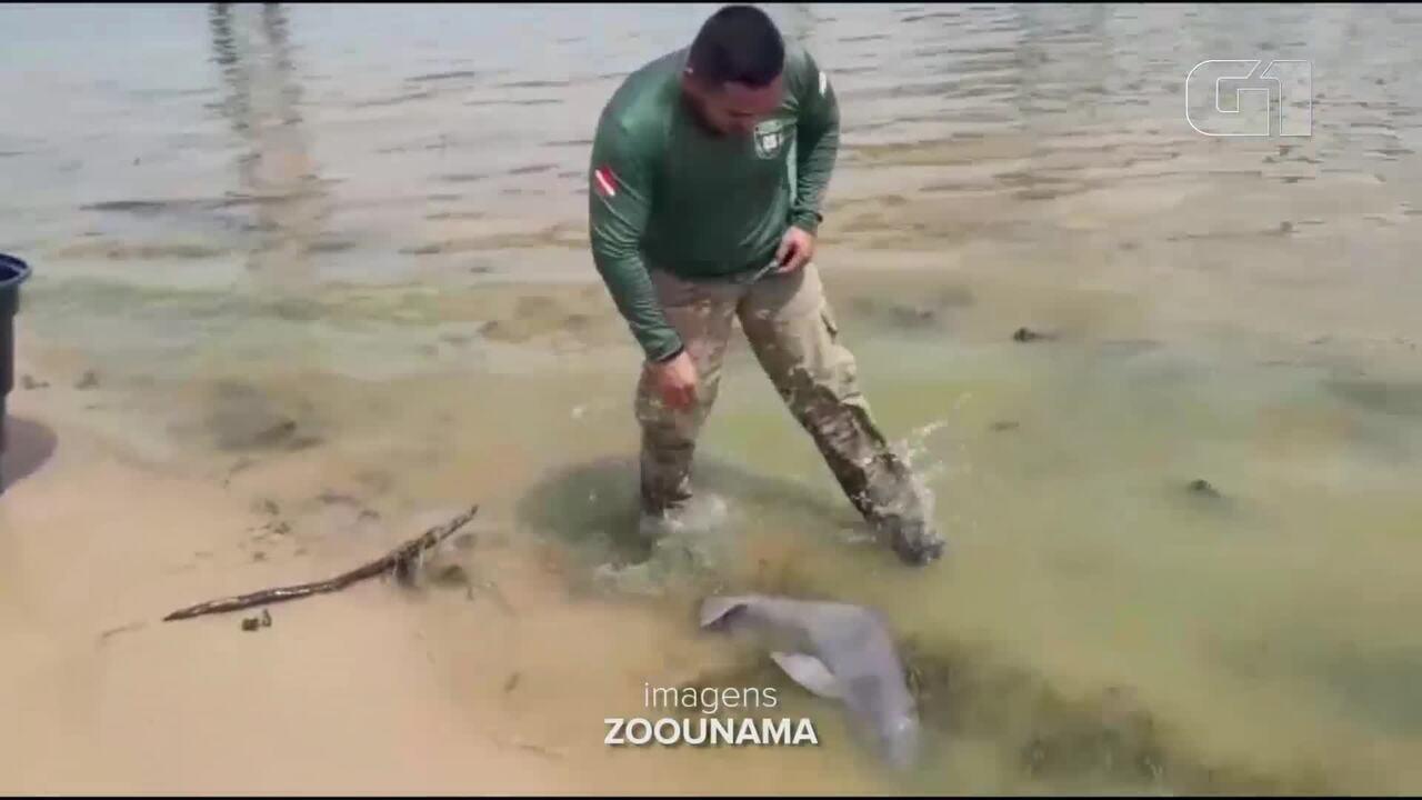 Filhote de boto encontrado encalhado no Rio Tapajós é resgatado e levado ao zoológico