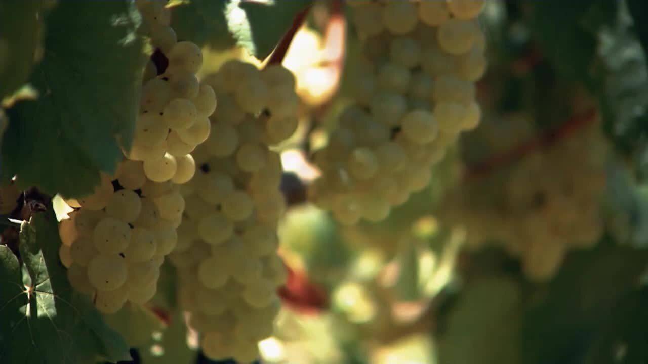 Produção de uva envolve tecnologia e movimenta R$ 5 bilhões por ano
