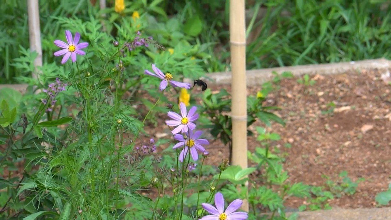 Confira um vídeo de mamangavas buscando o néctar e auxiliando na polinização das flores