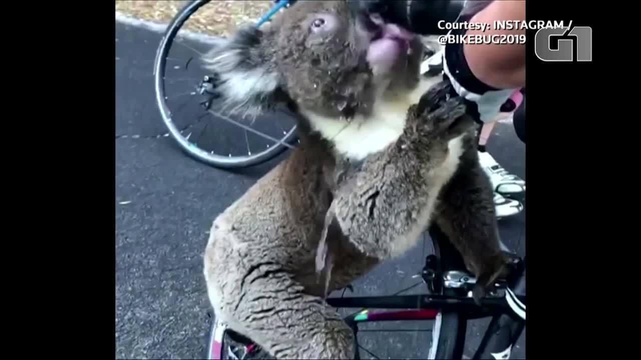 Ciclista divide sua água com coala encontrado na beira da estrada