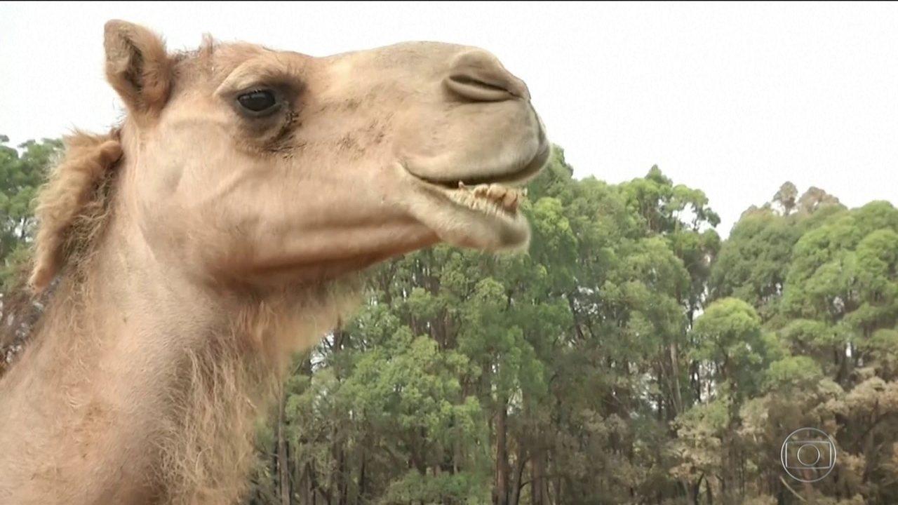 Austrália vai abater 10 mil camelos selvagens por causa da seca