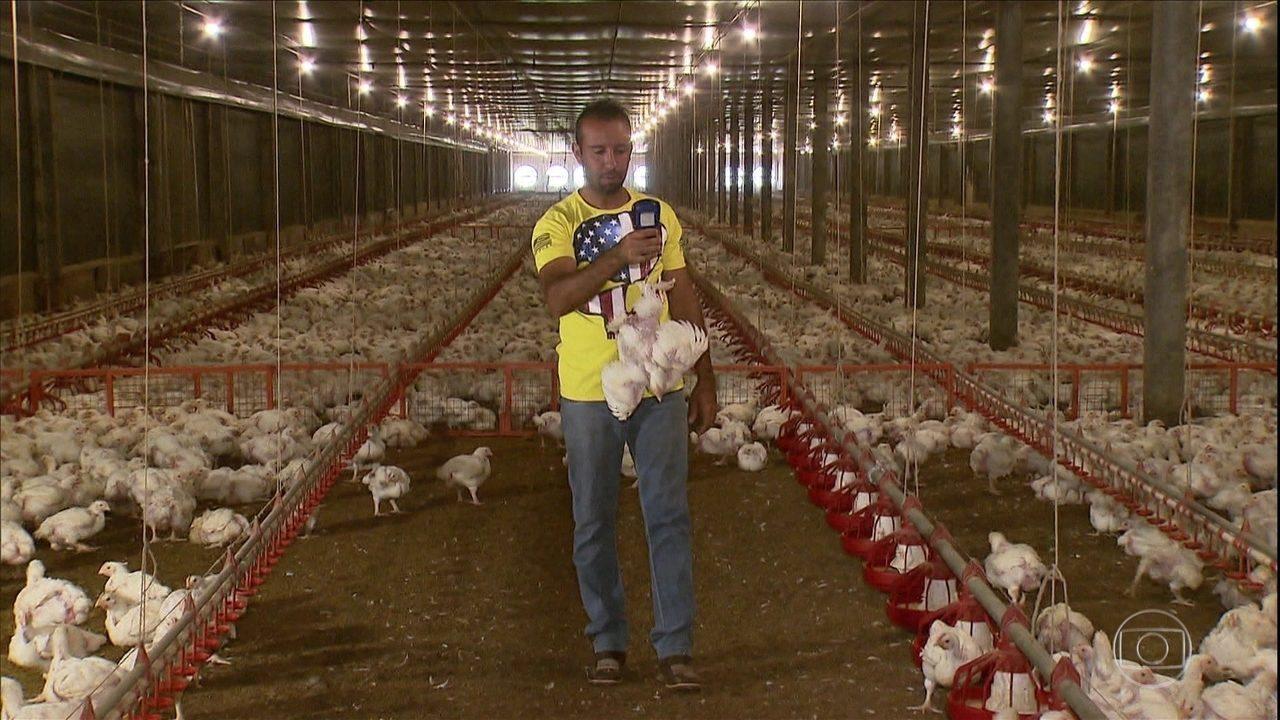 Condomínio de granjas no PR produz 7 milhões de aves por ano