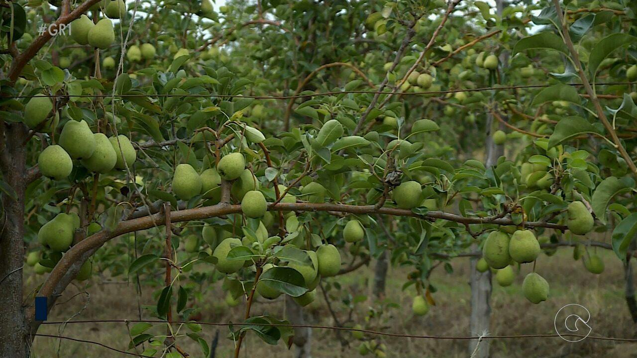 Produtores de pera do Vale do São Francisco começam a vender frutas para o mercado interno