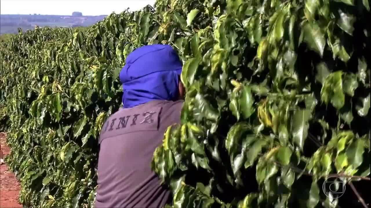 Trabalhadores da Bahia viajam em busca de oportunidade na colheita do café de Minas Gerais