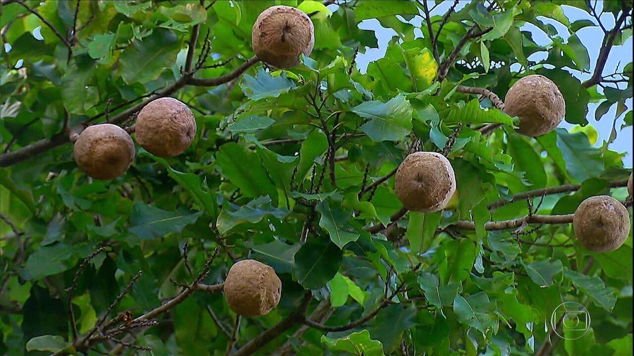 Produção comercial de castanhas na Amazônia ajuda na recuperação de florestas