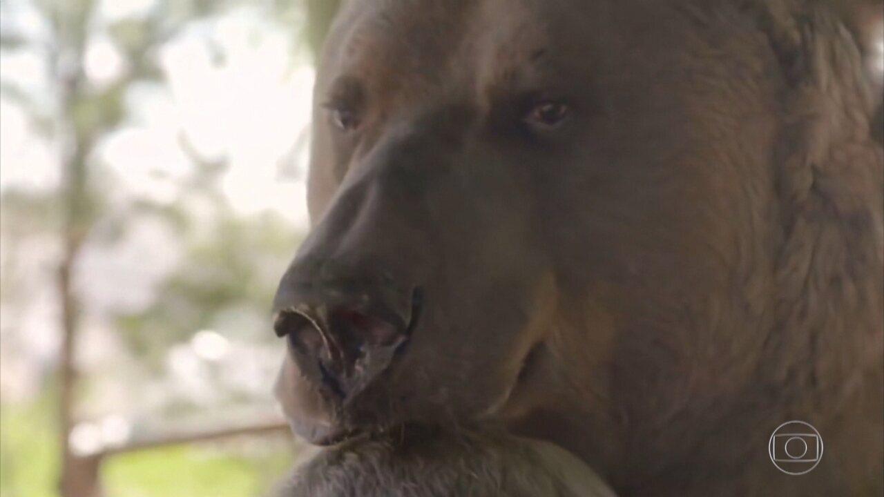Ursos resgatados vivem com seres humanos