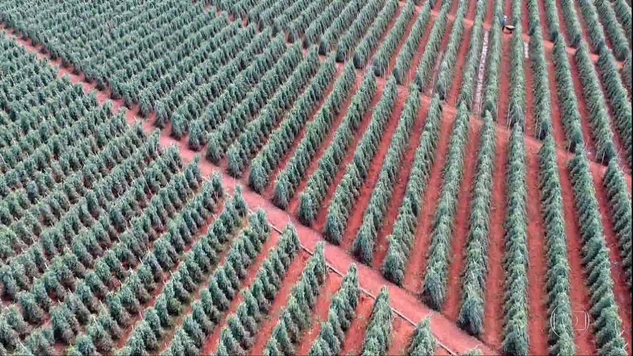 Safra de tomate deve vir 12% menor este ano em Goiás