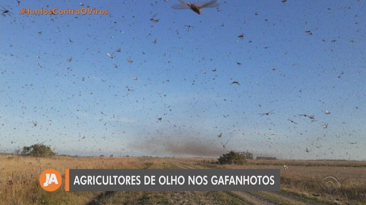 Nuvem de gafanhotos está a 130 km do Brasil e do Uruguai, diz ...