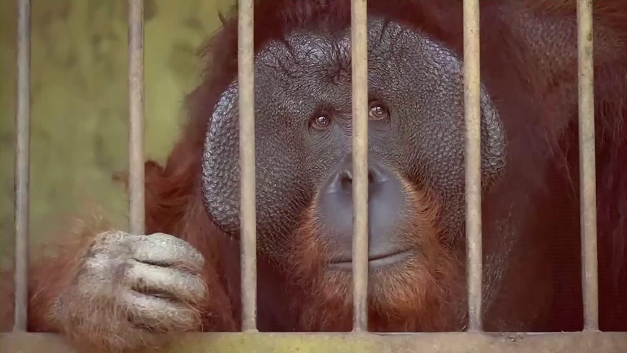 Ativistas resgatam orangotangos de cativeiro, na Indonésia