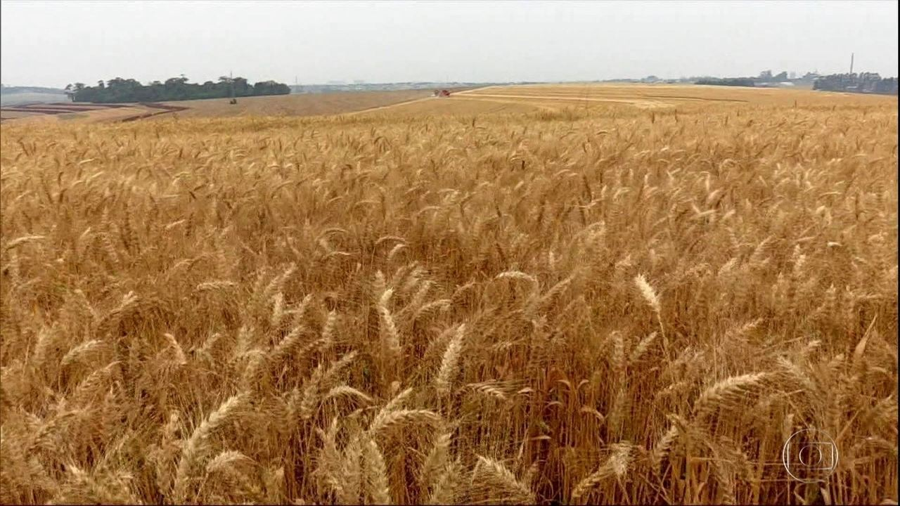 Com safra maior, produtores do Paraná aceleram colheita do trigo
