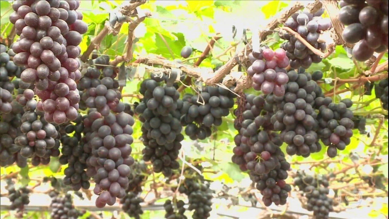 Exportações de frutas estão aquecidas no sertão de Pernambuco