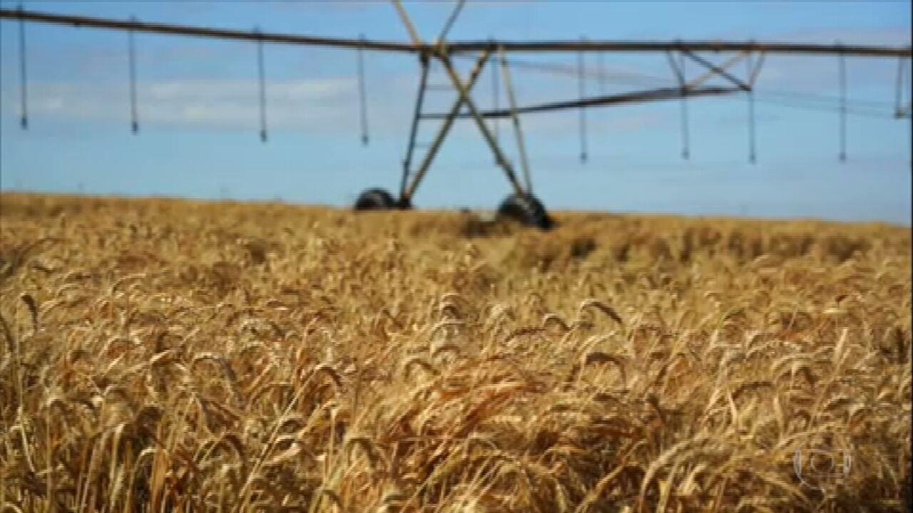 Alta do preço do trigo favorece produção do cereal no cerrado do país