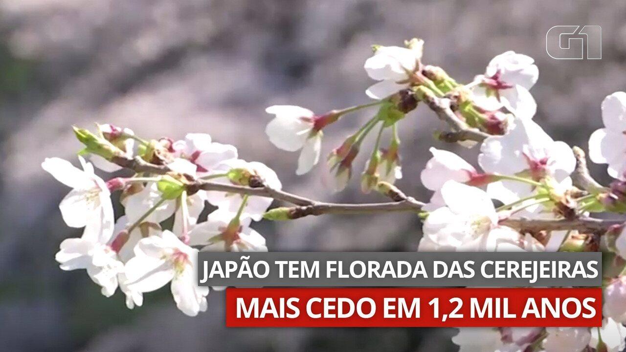 VÍDEO: Cerejeiras do Japão florescem mais cedo pela primeira em 1,2 mil anos